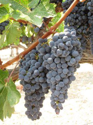 Livermore Tri-Valley Vineyard